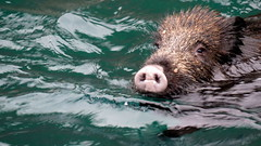 Journée piscine (bernard.bonifassi) Tags: bb088 06 alpesmaritimes 2017 sanglier natation eau susscofra animal counteadenissa groin