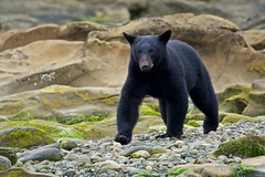 Diamond's Cub (Blingsister) Tags: americanblackbear ursusamericanus bear wildbear wildblackbear youngblackbear blingsister melanieleesonwildlifephotography canon7dmarkii canon100400mm northernvancouverisland shadow