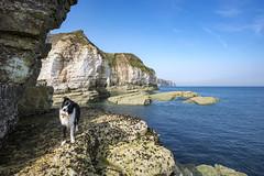 Poppy at Thornwick bay (Keartona) Tags: poppy bordercollie dog standing rocks stood beautiful sea eastcoast yorkshirecoast yorkshire chalk cliffs flamborough sunny day coast coastline bluesky landscape england