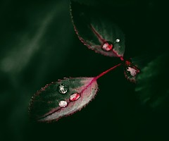 Precious Drops (mikbanerjee) Tags: drops water flickr dark macro shot beautiful leaf leaves rose tree droplets vignette filter canon1300d canon canondslr canonrebelt6 cinematic cinemascope mik mikbanerjee forest garden creative explore