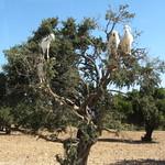 Arganbaum auf dem Weg nach Essaouira