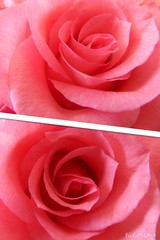 Rose Macro (lacoupe) Tags: flowers plant flower macro texture rose petals layers upclose