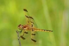 2015 Painted Skimmer (Libellula semifasciata) (DrLensCap) Tags: county chicago robert forest bug insect spur fly illinois woods dragon dragonfly district painted cook trails il trail rails to preserve kramer weber preserves skimmer libellula labagh semifasciata