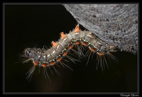 Chenille de la Laineuse du Cerisier (Eriogaster lanestris)