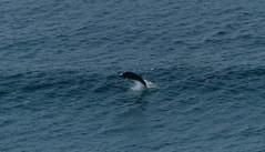 Dolphin (Paul Michelmore) Tags: ocean sea mammal dolphin wave atlantic sennen cetacean