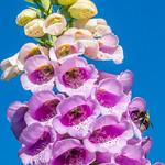Digitalis purpurea - Fingerhut - 1070294 thumbnail