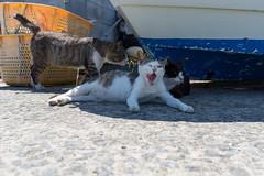 田代島 (GenJapan1986) Tags: 2015 ネコ 動物 宮城県 田代島 石巻市 離島 日本 island miyagi tashirojima japan cat animal