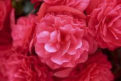 Hanging Flower (Read2me) Tags: red flower dof bokeh capecod pree cye gamewinner thechallengefactory superherowinner challengeclubwinner