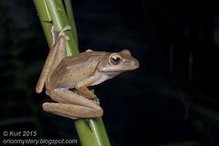 Polypedates leucomystax_MG_0277 copy (Kurt (OrionHerpAdventure.com)) Tags: amphibian frog tropical amphibians herps herpetology amphibia herpetofauna tropicalfrog tropicalfrogs polypedatesleucomystax polypedates fourlinedtreefrog