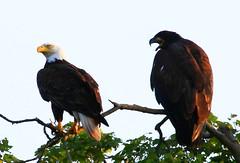 bald eagle & baby at Decorah Trout Hatchery IA 854A5593 (lreis_naturalist) Tags: county eagle bald reis iowa larry trout decorah hatchery winneshiek