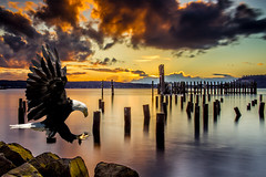 Bald-Eagle-Landing-Titlow-Art (Rob Green - SmokingPit.com) Tags: old light sunset storm beach birds ferry night clouds speed sunrise dark outdoors photography dawn flying washington rocks slow eagle dusk hiking wildlife south low bald large terminal historic landing climbing boulders sound shutter wa pilings prey soaring carnivorous raptors puget carnivores robgreen titlow