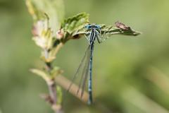 IMG_0382.jpg (loudz57220) Tags: macro nature canon insect wildlife 100mm demoiselle insecte whiteleggeddamselfly odonate 70d platycnemispennipes sriel zygoptre agrionlargespattes