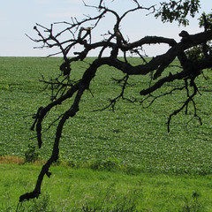 oak branch (quirkyjazz) Tags: oaktree lonetree oldoak thattree plattevillewisconsin