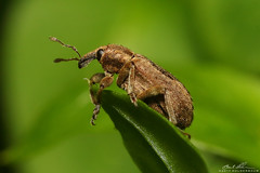 Weevil World (striving67) Tags: weevil insects macro bugs snout