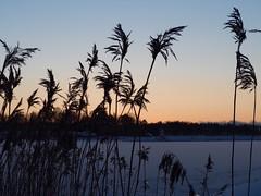 Reaching for the first sunrays (Jarno Nurminen) Tags: balticsea sea ice hanasaari helsinki finland winter cold sunrise reeds