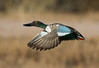 Northern-shoveler (Corey Hayes) Tags: drake duck wild flight natyre male fast breeding wings feathers newmexico