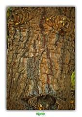 MY GRANDMA'S WRINKLES (régisa) Tags: ride wrinkle mamy grandmère grandma grandmother arbre tree analogie analogy écorce bark