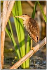 Balancing Act (mlibbe) Tags: apopkawildlifedrive ixobrychusexilis apopka birds florida lakeapopka leastbittern nature orangecounty wildlife wwwmichaellibbephotographycom