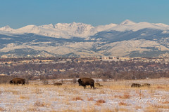 January 7, 2017 - Bison graze on the plains after a snow. (Tony's Takes)