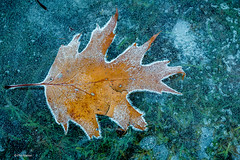 Yellow Autumn yellow oak leaf frozen in puddle - Kew Gardens, Toronto (Phil Marion (68 million views - thank you all)) Tags: toronto canada travel 5photosaday beautiful cosplay candid beach woman girl boy teen 裸 schlampe 懒妇 나체상 फूहड़ 벌거 벗은 desnudo chubby young ふしだらな女 nackt nu निर्वस्त्र 裸体 ヌード नग्न nudo ਨੰਗੀ голый khỏa upskirt جنسي 性感的 malibog कामुक セクシー 婚禮 hijab nijab burqa telanjang обнаженный сексуальный tranny عري nude naked sexy برهنه وقحة nubile phat cleavage slim plump sex slut nipples ass hot xxx boobs dick balls tits fat