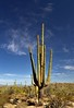 The Many Arms of a Saguaro Cactus (Saguaro National Park) (thor_mark ) Tags: nikond800e day3 saguaronationalpark saguaronationalparktucsonmountaindistrictwest lookingwest desert desertlandscape sonorandesert desertplantlife outside nature saguaro cactus carnegieagigantea saguarocactus arborescenttreelikecactus cactusacrossdesertlandscape sunny blueskieswithskies landscape mountains mountainsindistance mountainsoffindistance capturenx2edited colorefexpro project365 hohokamroad cactusflowers topofsaguarocactus bajadaloopdrive arizona unitedstates