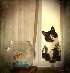 Glass Walls (clabudak) Tags: cat feline curtain window fish bowl table windowsill plant goldfish indoors