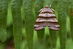 Moth, Singapore (singaporebugtracker) Tags: singaporebugtracker lornietrail macroinsect mothsofsingapore zebrastripes parallel horizontal valentine story love