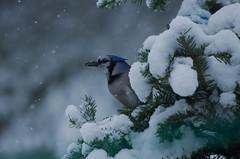 Blue Jay (Bud in Wells, Maine) Tags: birds bluejay winter evergreen tree snow closeup bokeh