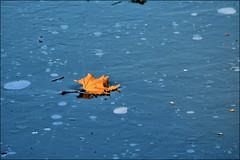 it's a beautiful day (1laura0) Tags: macromondays foglia ghiaccio ispired by song beautiful day u2 leaf ice frozen sospesa ispiratoadunacanzone ungiornobellissimo felicità