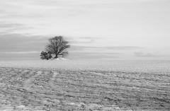 ein bisschen schnee (Wunderlich, Olga) Tags: winter baum schnee feld natur nature landschaft landscape rügen insel mecklenburgvorpommern naturfoto naturaufnahme