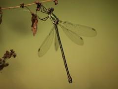 Lestes viridis  ♀ (fturmog) Tags: fauna odonats odonátos odonata libélulas libèl·lules dragonflies alòsdebalaguer