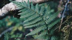 farn (sarahlovesthesun_photos) Tags: farn fauna plants natzre natur pflanzen macrophoto makro kloseup green