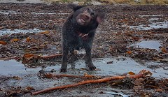 Eau Naturelle.. (Michael C. Hall) Tags: dog labrador chocolate beach strand flotsam seaweed sand shake spray wet ireland kerry