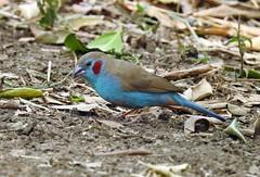 Red-Cheeked Cordon-Bleu (Uraeginthus bengalus) (mat.breiten) Tags: uraeginthus bengalus bird kenya masai mara