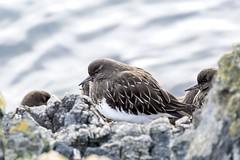 Black Turnstone (David Badke) Tags: oakbay bc bird