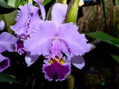 Cattleya (Eerika Schulz) Tags: cattleya berggarten hannover herrenhausen herrenhäuser garten orchidee eerika schulz
