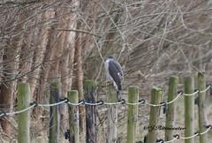 Sperwer (jeannette.dejong) Tags: zeeland sperwer bruin grijs groen ngc naturelovers nederland