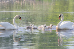 Swan Family 5/29/15 (gingerworm) Tags: family baby cute nature water beautiful beauty animal animals canon wow spring amazing swan pond soft pretty babies sweet wildlife massachusetts cygnet may swans aww dreamy wilderness lovely cygnets lightroom hornpond canon60d canon70300l
