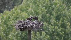 OSPREY FEEDING 2 CHICKS, MORROW GRAVEL PIT, MORROW, OHIO, JUNE 5, 2015 (nsxbirder) Tags: ohio video feeding chicks osprey morrow