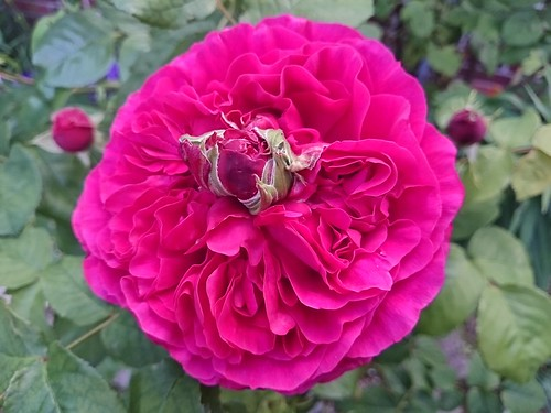 Rose flower with a second bud