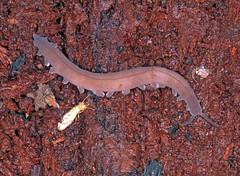 Tasmanipatus barretti - giant velvet-worm (Simon Grove (TMAG)) Tags: australia tasmania invertebrates onychophora tasmanianmuseumandartgallery peripatopsidae tasmanipatus tmagzoology upperscamander