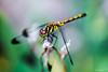 Dragonfly (saeah_lee) Tags: mountain macro animal bug insect outside blurry dragonflies dragonfly outdoor insects korea bugs depthoffield southkorea chiaksan wonju