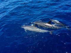 150717_0105.jpg (donhall9141) Tags: desktop hawaii dolphins kona 2015 201507