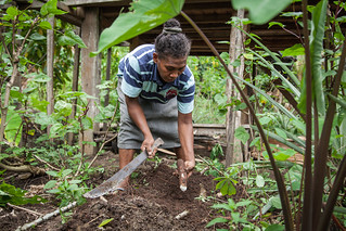 Grace Poporia harvests cassava from her home garden, One' Oneabu, Malaita Province, Solomon Islands. Photo by Filip Milovac.