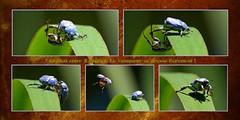 Hoplies bleues (Marie-Line D09) Tags: ariège coléoptère mazères hopliebleue hopliacoerulea scarabéidés domainedesoiseaux