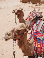 Camels relaxing inbetween work!