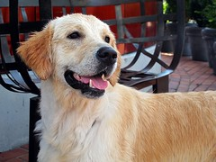 MISS DOGE (Tereza echov) Tags: dog chien wet beautiful smiling golden nice spain funny bilbao perro
