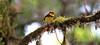 Collared Redstart (RedAbbott) Tags: collaredredstart myioborustorquatus