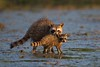 No Angel (gseloff) Tags: cub texas wildlife lowtide raccoon pasadena mudflat kayakphotography gseloff horsepenbayou galvestonbayestuary