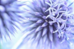 purplicious (s@ssyl@ssy) Tags: flower ball garden purple sharp thorns hmm prickly sharpasatack globethistles macromondays
